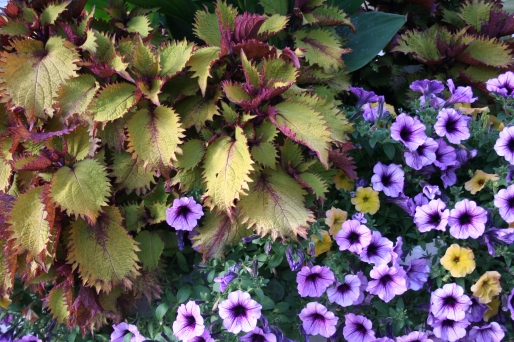 5082 c purple petunias